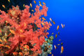 Soft Coral and Lyretail Anthias Stock Photos