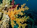 The soft corals (Alcyonacea) (dendronephthya) Stock Photography
