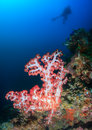 Soft corals and scuba diver silhouette next to pink coral Royalty Free Stock Photography