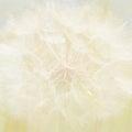 Soft Dandelion Background