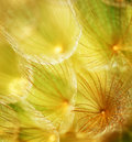 Soft dandelion flower Stock Photos