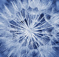 Soft dandelion flower Royalty Free Stock Images