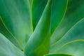 Soft focus Aloe Cactus Plant
