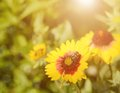 Soft focus beautiful flowers and bee in sunset Royalty Free Stock Image