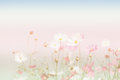 Soft focus and blurred cosmos flowers on pastel color style for