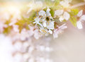 Soft focus on branch of cherry blossoming Royalty Free Stock Photo