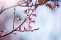 Soft focus Cherry Blossom or Sakura flower on nature blur background Royalty Free Stock Photo