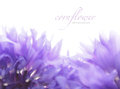Soft focus cornflower background with copy space. Made with lens