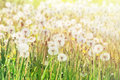 Soft focus of dandelion flowers field under the sun rays Royalty Free Stock Photo