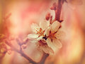 Soft focus on flourishing flower fruit tree Royalty Free Stock Photos