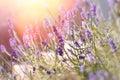 Soft Focus On Lavender Flowers...