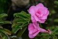 Soft focus pink Impala lily. Pink azaleas. Pink flower. Desert Rose. Impala Lily. Mock Azalea. Pink desert rose. Azalea flowers. Royalty Free Stock Photo