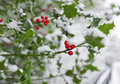 Soft focus winter holly bush with red berries covered in snow very shallow depth of field with on lowest red berry Stock Photos