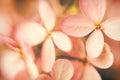 Soft Hydrangea Flowers