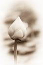 Soft Lotus Flowers