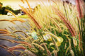 Soft mood twilight concept background of grass flower beside the Royalty Free Stock Photo