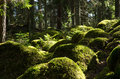 Soft mossy rocks in a nordic coniferous forest from the province smaland in sweden Stock Photography