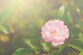 Soft photo of a beautiful rose detail Royalty Free Stock Image
