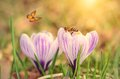 Soft photo of crocus flower Royalty Free Stock Photo