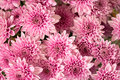Soft pink purple Chrysanthemum flowers nature abstract background Royalty Free Stock Photo