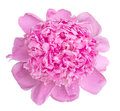 Soft pink wet peony flower macro isolated Royalty Free Stock Photo