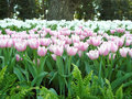 soft pink and white tulips flowers Royalty Free Stock Photo