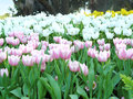 soft pink, white tulips flowers Royalty Free Stock Photo