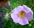 Soft Pink Wild Rose In Full Bl...