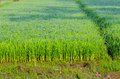 Soft rice are growing up in farm Royalty Free Stock Photography