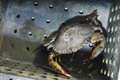 Soft shelled crab fishing crabs on black box Royalty Free Stock Photos
