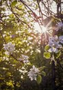 Soft Shining sunlight on Apple Blossoms in the Spring Royalty Free Stock Photo