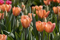 Soft toned colored tulips Stock Image