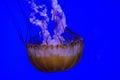 Softbodied Jellyfish Royalty Free Stock Photo