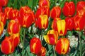 Softly colored red yellow tulips flowerbed of Stock Photo