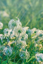 Softness flowers fluffy flowers in a meadow Royalty Free Stock Photos