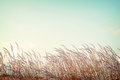 Softness white feather grass with retro blue sky space