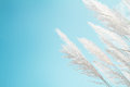 Softness white Feather Grass with retro sky blue background and space