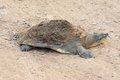 Softshell turtle Royalty Free Stock Image