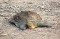 Softshell turtle on the ground in india Royalty Free Stock Photos