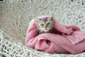 Soggy kitten after a bath cute in pink towel Royalty Free Stock Images