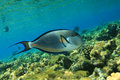 Sohal Surgeonfish Stock Photo