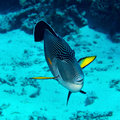 Sohal surgeonfish acanthurus in the red sea egypt Stock Photo