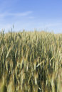 Soicate ear spica spike aristate corn plant green harvest grain cereal crop frumenty wheat yellow sunlight sun su corns field Stock Photography