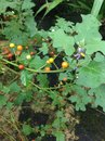 Solanum images roots are diaphoretic diuretic expectorant stimulant the root is used against bronchites itch and for bodyaches for Stock Image