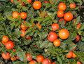 Solanum pseudocapsicum berries