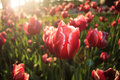 Solar tulips illuminated by the morning sun red Royalty Free Stock Images