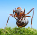 Soldier ant ready to shoot with acid Royalty Free Stock Images