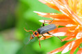 Soldier beetle. Royalty Free Stock Photo