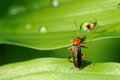 Soldier beetle cantharis rustica climbing a leaf close up of from one to another Stock Photography