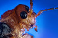 Soldier beetle macro Royalty Free Stock Photo